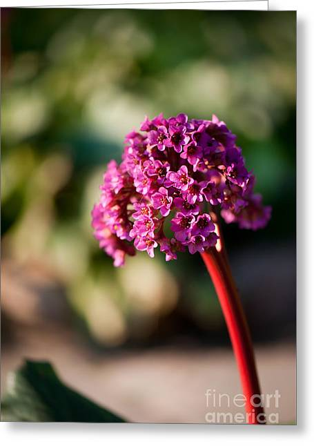 Bergenia Flowering Plant In Spring Greeting Card by Arletta Cwalina