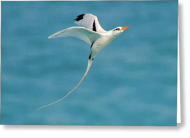 Bermuda Longtail S Curve Greeting Card