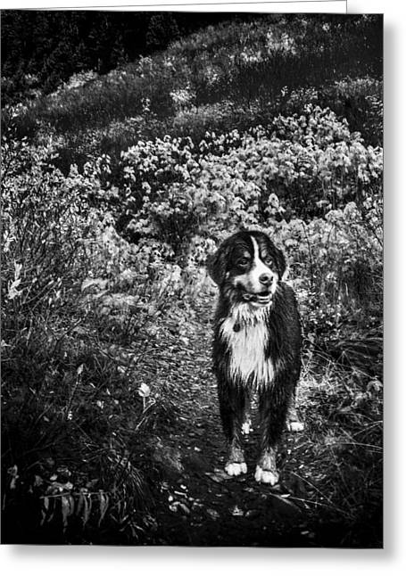 Bernese Mountain Dog Black And White Greeting Card by Pelo Blanco Photo