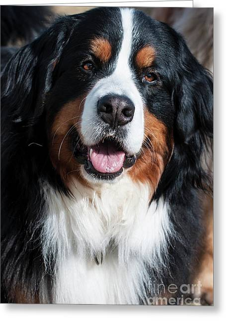Bernese Mountain Dog Portrait  Greeting Card