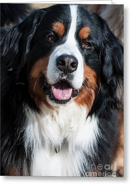 Bernese Mountain Dog Portrait  Greeting Card by Gary Whitton
