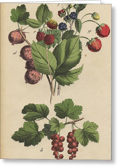 Berries And Currants Greeting Card