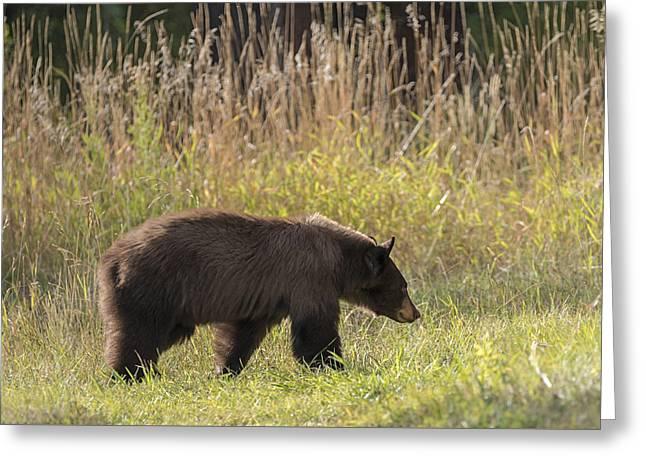 Berry Hunting Bear Greeting Card by Loree Johnson