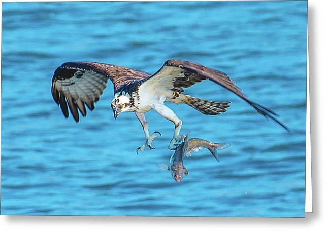 Best Osprey With Fish In One Talon Greeting Card by Jeff at JSJ Photography