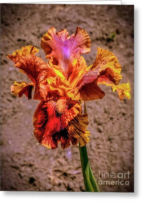 Bicolor Beauty Greeting Card by Robert Bales