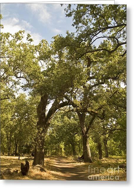Bidwell Park Oak Tree Greeting Card