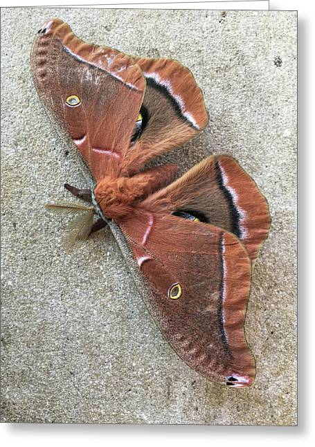 Big Beautiful Silk Moth Greeting Card