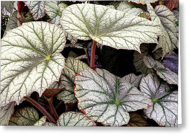 Big Begonia Leaves Greeting Card