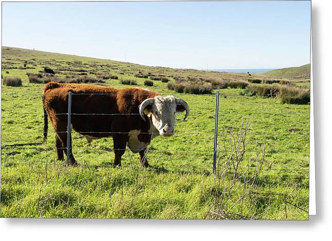 Greeting Card featuring the photograph Big Bull At Point Reyes National Seashore California Dsc4884-sq by Wingsdomain Art and Photography