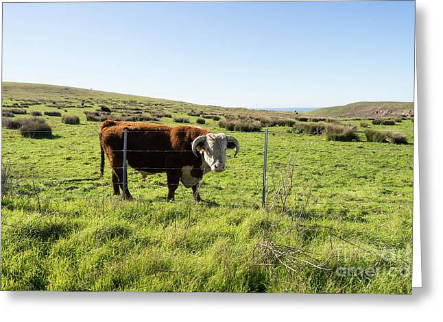 Greeting Card featuring the photograph Big Bull At Point Reyes National Seashore California Dsc4884 by Wingsdomain Art and Photography