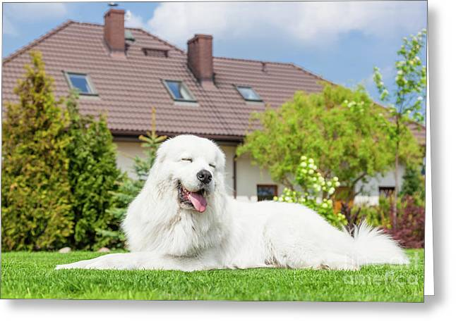Big Guard Dog Resting In Front Of The House. Polish Tatra Sheepdog Greeting Card by Michal Bednarek