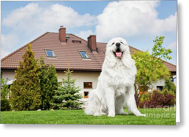 Big Guard Dog Sitting In Front Of The House. Polish Tatra Sheepdog Greeting Card by Michal Bednarek
