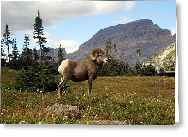 Big Horn 4   Greeting Card by Marty Koch