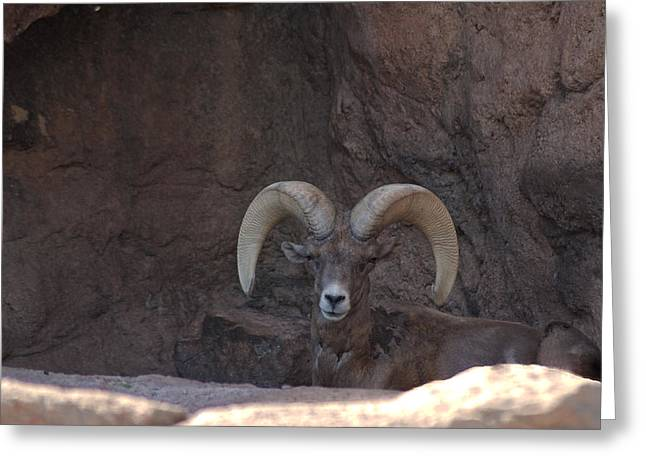 Greeting Card featuring the photograph Big Horn Ram by Daniel Hebard