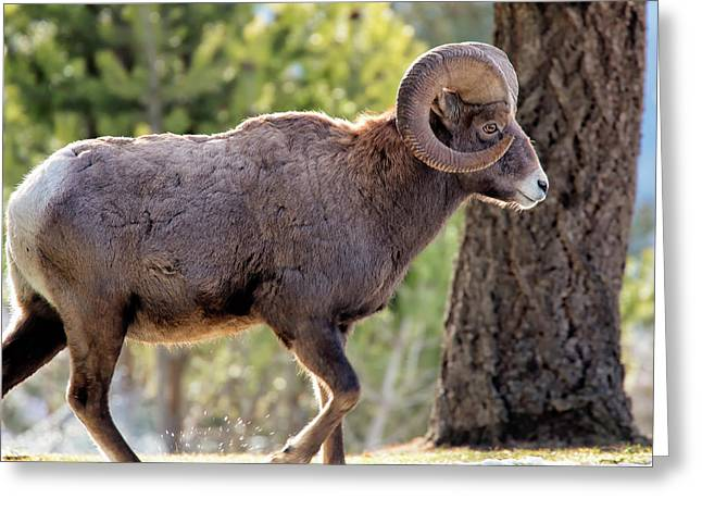 Big Horn Ram Greeting Card