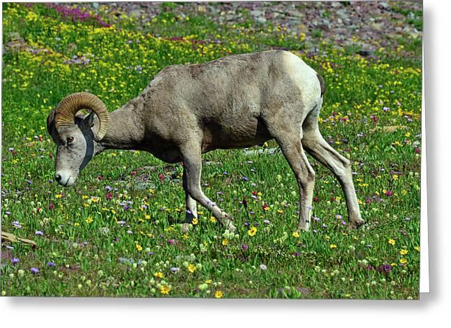 Big Horn Ram Eating Flowers In Glacier National Park Greeting Card