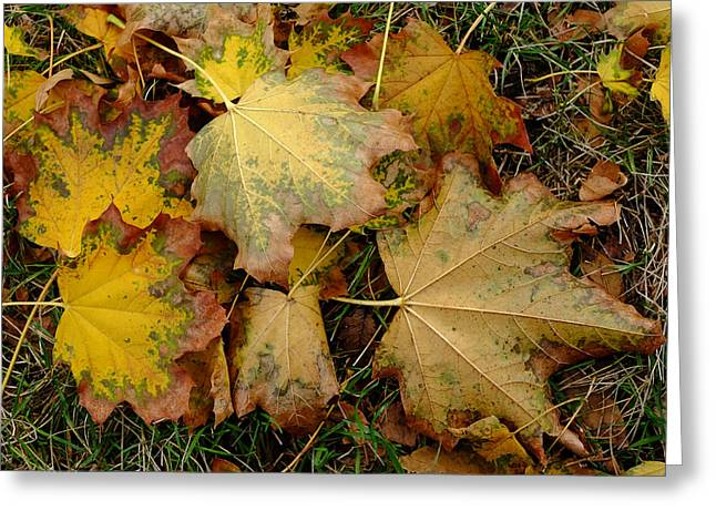 Greeting Card featuring the photograph Big Leaf Maple Leaves In Early Fall by Monte Stevens