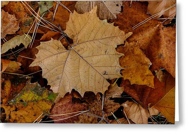 Greeting Card featuring the photograph Big Leaf Maple by Monte Stevens