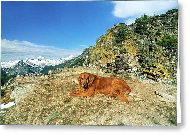 Big Male Golden Retriever Posing Resting On A Cliff's Edge Greeting Card