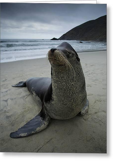 Big Seal Greeting Card