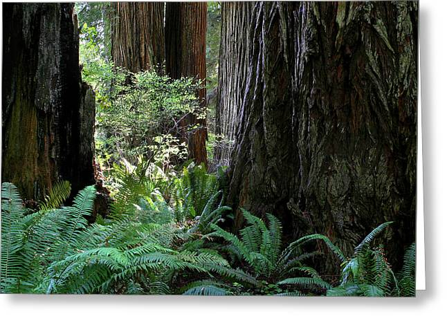 Big Trees And Ferns Greeting Card