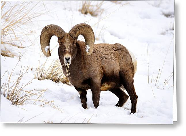 Bighorn Breakfast Greeting Card by Greg Norrell