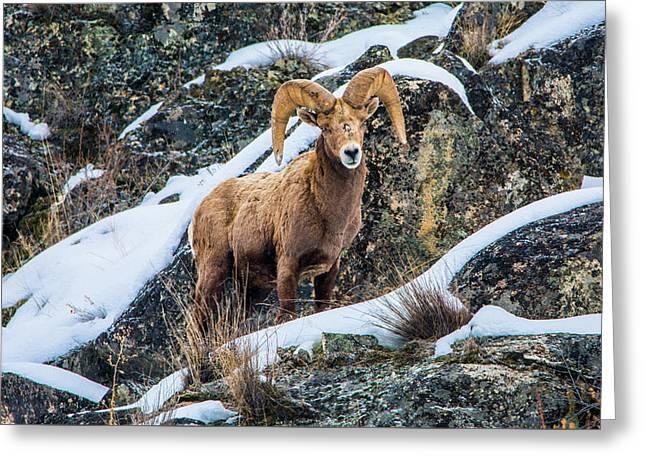 Bighorn Ram 3 Greeting Card