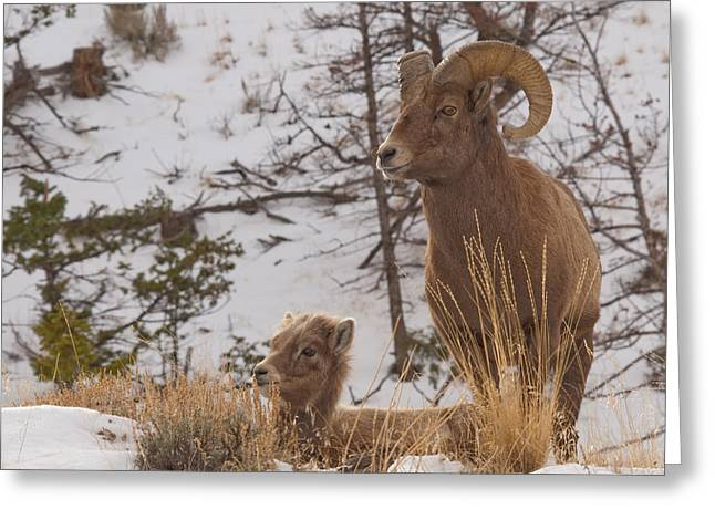 Bighorn Ram And Kid Greeting Card