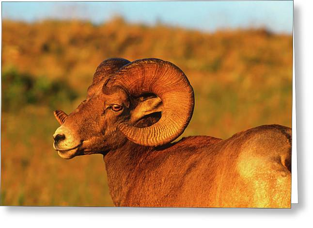 Bighorn Ram And The Sun's Last Rays Greeting Card by Jerry Voss