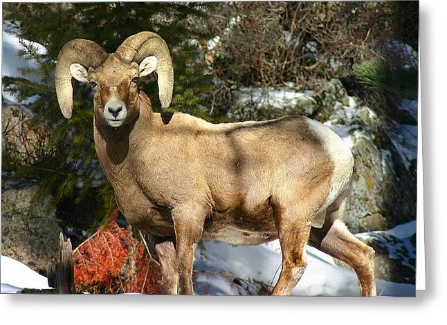 Bighorn Ram Greeting Card by Perspective Imagery
