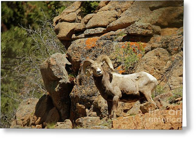 Bighorn Ram In The Mountains Greeting Card