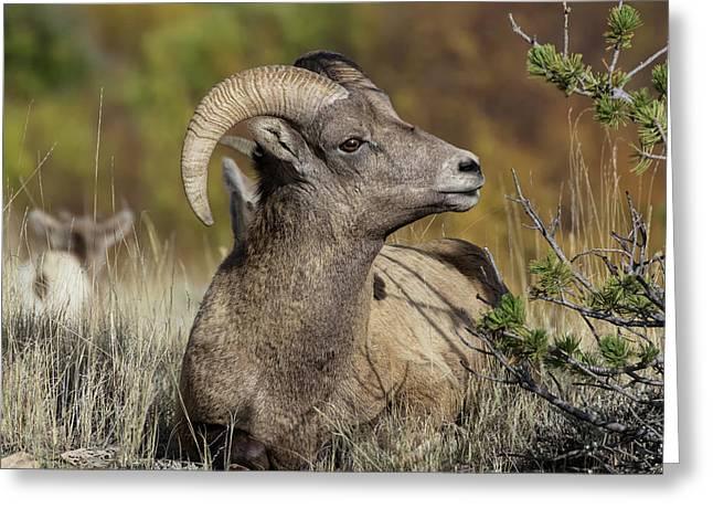Bighorn Ram Kicking Back Greeting Card by Kathleen Bishop