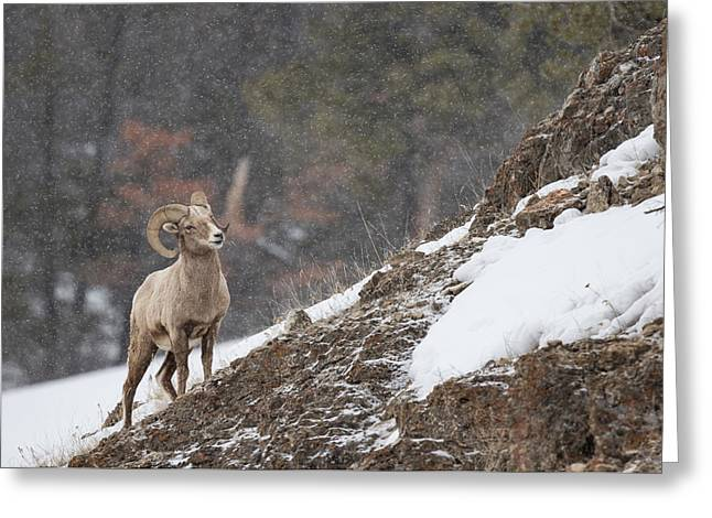 Bighorn Sheep Greeting Card by Andrew Wells