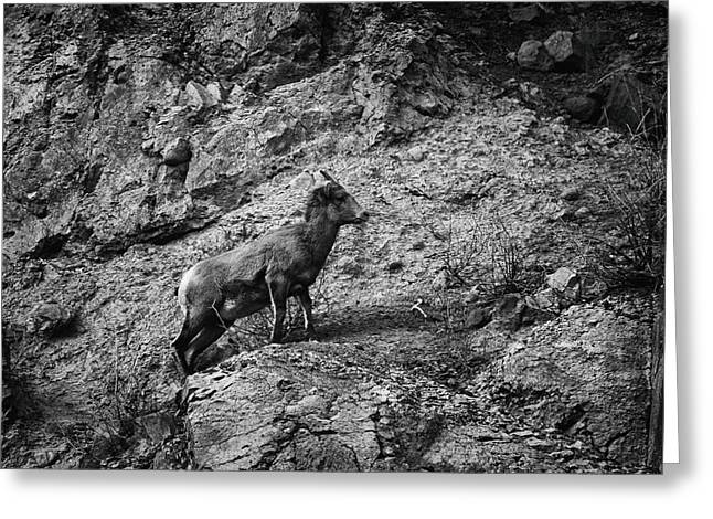 Bighorn Sheep Ewe On Wolf Creek Pass Greeting Card