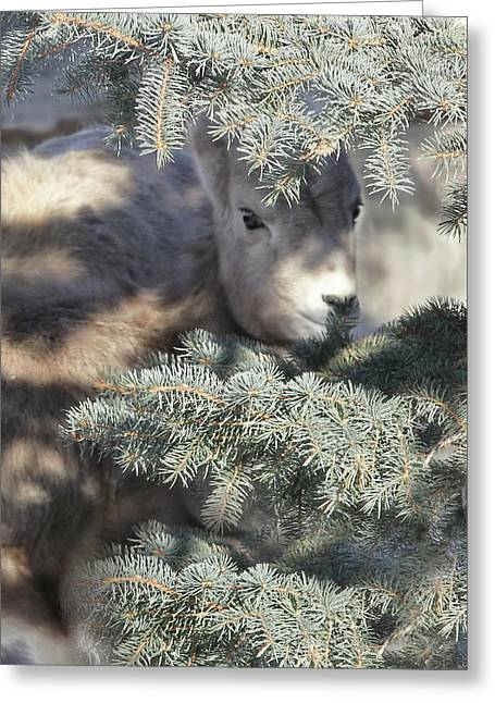 Greeting Card featuring the photograph Bighorn Sheep Lamb's Hiding Place by Jennie Marie Schell