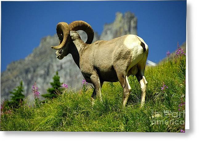Bighorn Sheep Greeting Card by Marc Bittan
