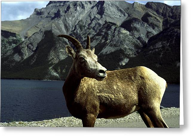 Greeting Card featuring the photograph Bighorn Sheep by Sally Weigand