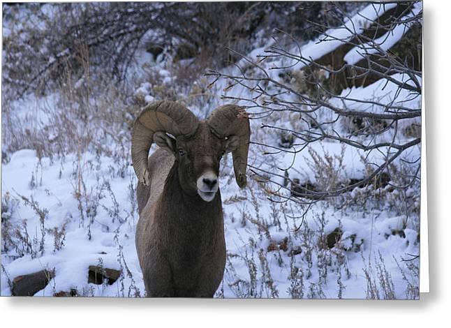 Bighorn5 Greeting Card