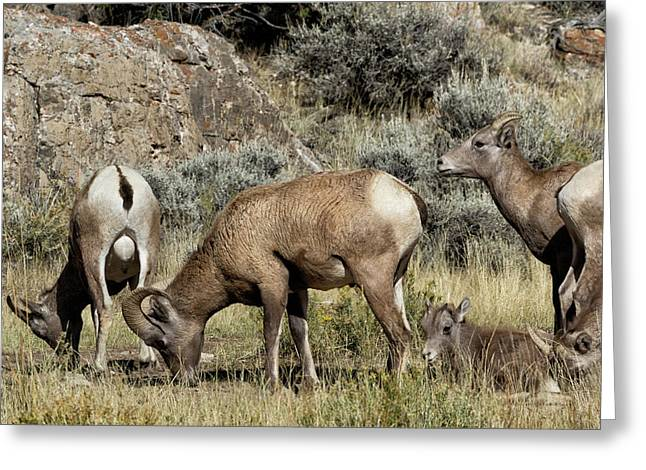 Bighorns At The Lick Greeting Card by Kathleen Bishop