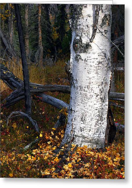 Birch Autumn 3 Greeting Card by Ron Day