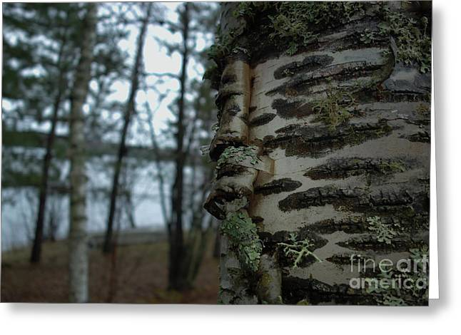 Birch Bark 2 Greeting Card by Jacqueline Athmann