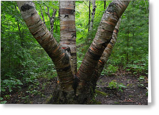 Greeting Card featuring the photograph Birch Bark Tree Trunks by SimplyCMB