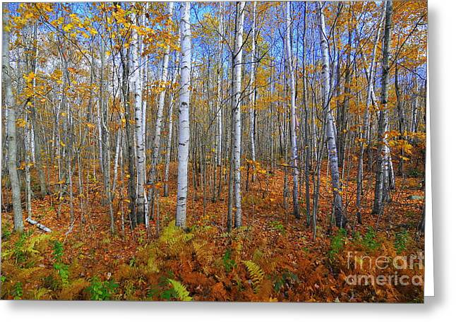 Birch Forest Autumn  Greeting Card by Catherine Reusch Daley