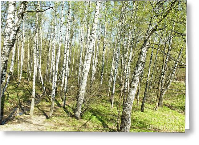Birch Forest In Spring Greeting Card