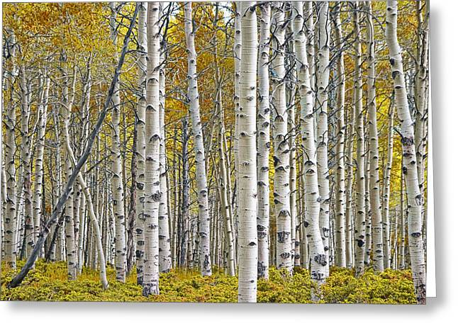 Birch Tree Grove With A Touch Of Yellow Color Greeting Card