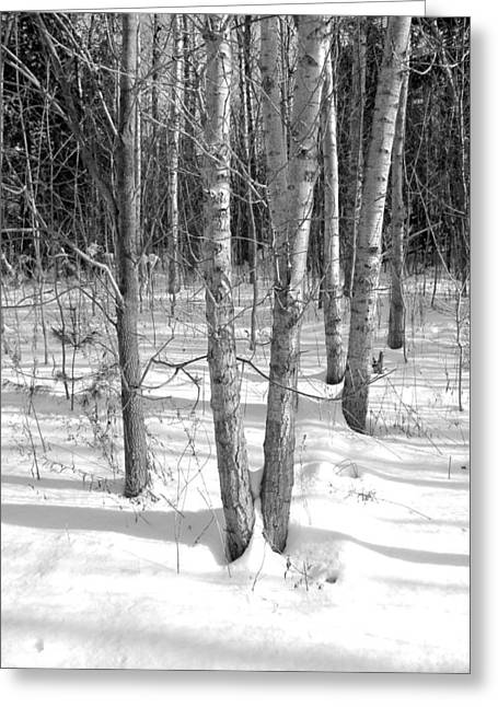 Birch Trees Greeting Card by Douglas Pike