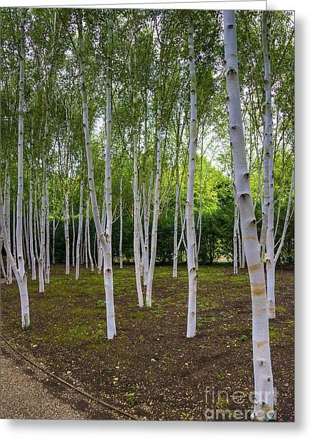 Birch Trees Greeting Card by Svetlana Sewell