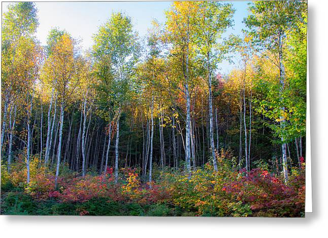 Birch Trees Turn To Gold Greeting Card