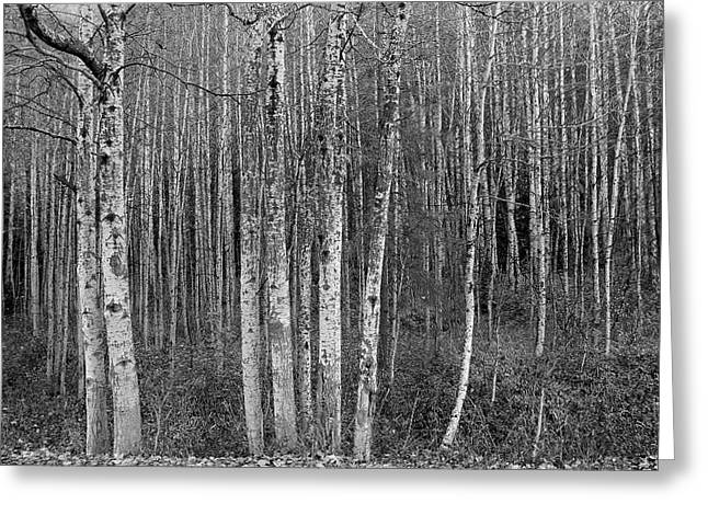 Birch Tress Greeting Card
