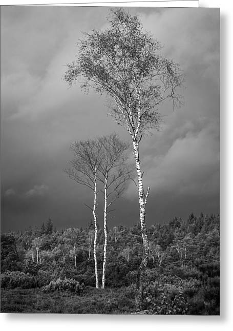 Birches And Approaching Rain 2 - Black And White Greeting Card